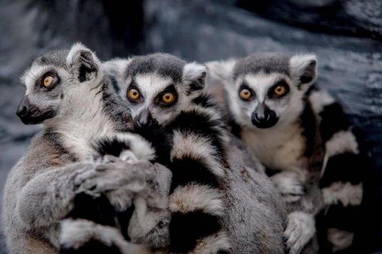 lemury w palmiarni